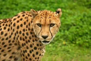 cheetah-1260875-m
