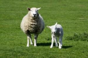 ewe-and-lamb_19-135982
