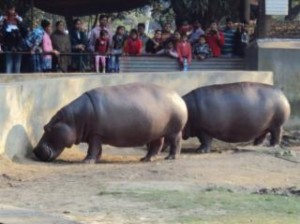 hippopotamus-at-alipur-zoo_19-139555